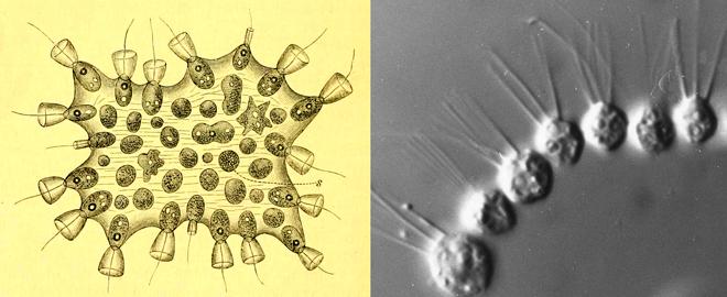 choanoflagellates mechnikov sergey karpov
